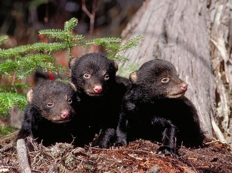 Young American Black Bear cubs