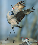 Sandhill Crane (grus canadensis) performing a mating dance