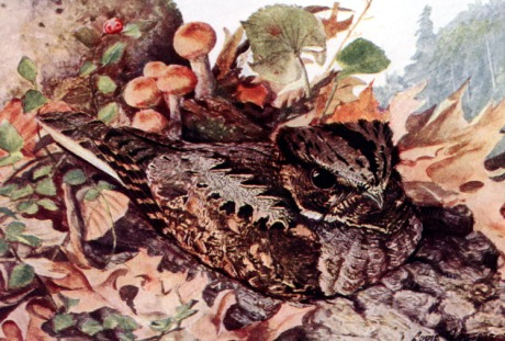 Eastern Whip-poor-will (Antrostomus vociferus)