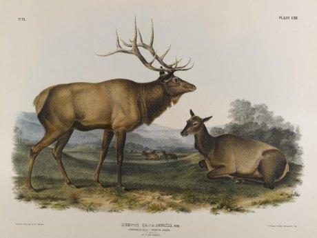 Lithograph of Eastern American Elk (Cervus canadensis canadensis) by John J. Audubon