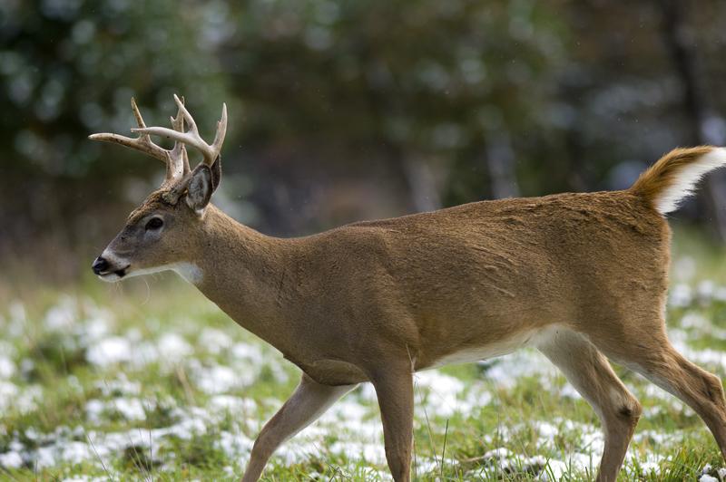 Young White-tailed deer (Odocoileus virginianus) buck